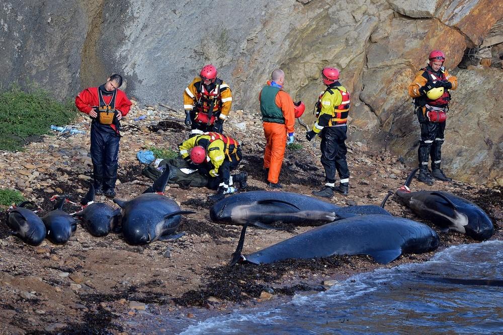 Mass Stranding of Pilot Whales