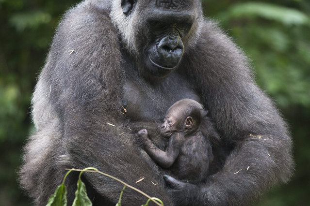 Anju, a Western Lowland Gorilla, holds her week-old newborn in the Gorilla World habitat at the Cincinnati Zoo & Botanical Garden, Thursday, September 3, 2015, in Cincinnati. The baby, who has yet to be named, is the 50th gorilla born at the zoo since 1970. (Photo by John Minchillo/AP Photo)