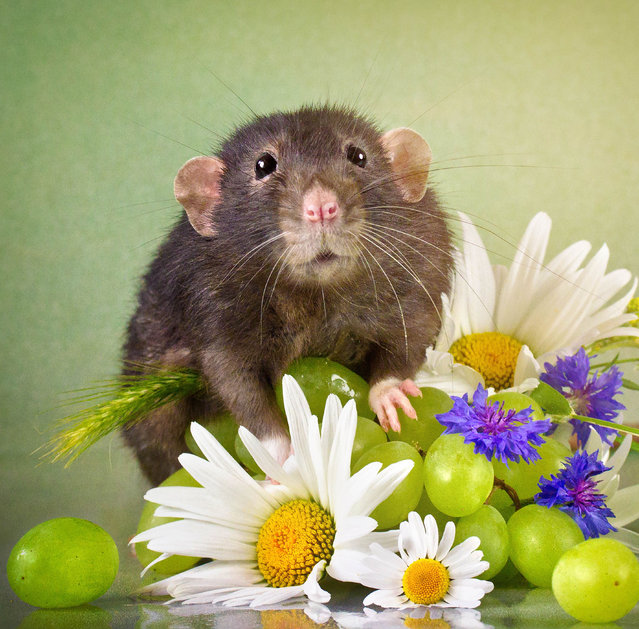"""Through her images, Diane hopes to showcase the positive characteristics of rats – especially pet rats –, which, she said, are """"mellow and playful little creatures"""". (Photo by Diane Ozdamar/Caters News)"""
