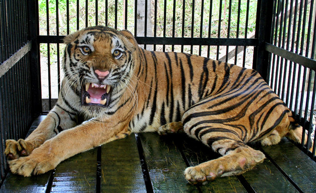 An Indian Royal Bengal tiger named Shyam, roars inside his enclosure at the Jaldapara wild life sanctuary, 165 km (103 miles) from Siliguri August 2, 2005. (Photo by Rupak De Chowdhuri/Reuters)