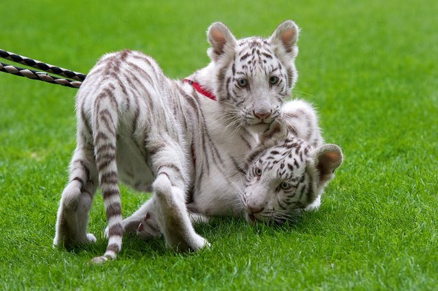 White tigers play at the football stadium of Dresden, eastern Germany, on September 22, 2014 during a presentation to the press by Circus Sarrasani where the 14 week old animal arrived from Zoo Stukenbrock in Western Germany. (Photo by Arno Burgi/AFP Photo/DPA)