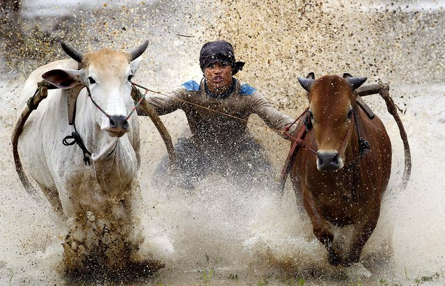 A man takes part in mud cow racing in Padang Pajang, West Sumatra, Indonesia October 13, 2012. The sport of Pacu Jawi – mud cow racing – is held at the end of each rice harvesting season by the Minangkabau people in West Sumatra. (Photo by Vincent Thian/Asociated Press)