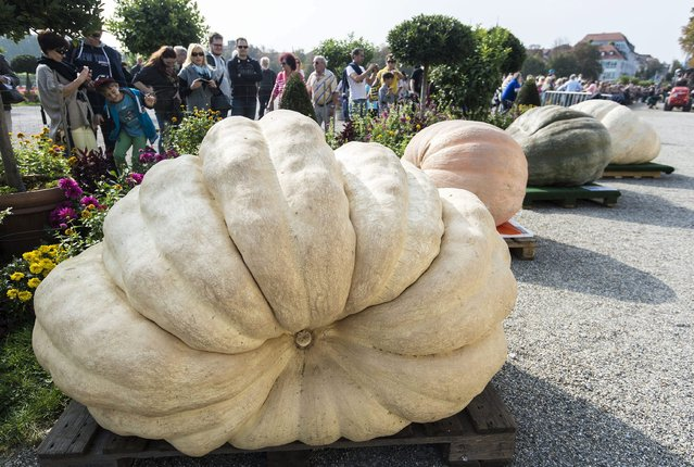 The winning pumpkin with a weight of 699 kilograms lies on the ground during the German Pumpkin Weighing Championship in Ludwigsburg, Germany, 05 October 2014. (Photo by Daniel Maurer/EPA)