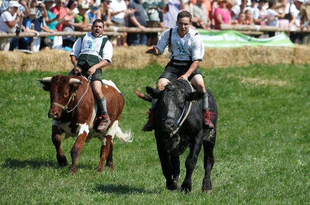 Farmer Thomas Sebald (R) rides on an ox called Django while farmer farmer Josef Stein rides on ox Paule while taking part in a traditional ox race in the southern Bavarian village of Muensing near Lake Starnberg, Germany August 28, 2016. (Photo by Michaela Rehle/Reuters)