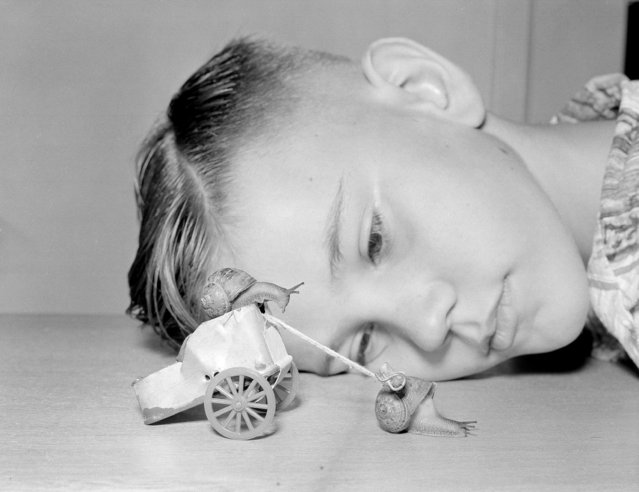 "Ten-year-old Martin Witter watches a snail, ""Speedy,"" pull a miniature Roman chariot that he made out of a fish tin and toothpicks as another snail, ""Butch,"" sits in the driver's seat, in the Lynwood section of Los Angeles, Calif., October 1, 1954. Martin claims to have made the only snail stable in the country and puts the snails through their paces every afternoon. (Photo by Don Brinn/AP Photo)"