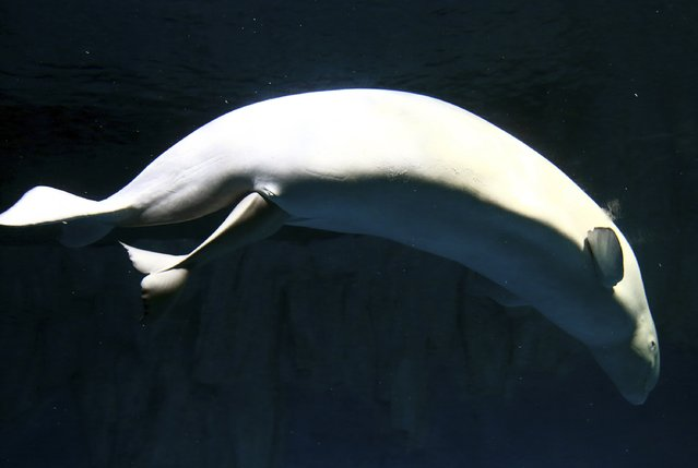 White whale or beluga Zhuoya gives birth to her first offspring at an aquarium in Changsha, Hunan province, October 29, 2014. (Photo by Reuters/China Daily)