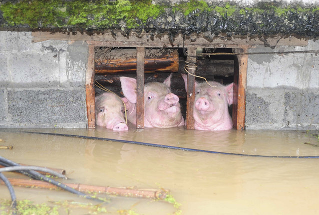 Pigs are seen trapped in a partially submerged pig pen after heavy rainfall hit Youyang county of Chongqing municipality, China, September 11, 2014. (Photo by Reuters/China Stringer Network)