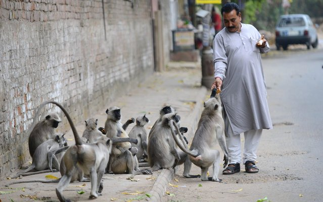 Langur Monkeys take food handouts from an Indian pedestrian in Ahmedabad on March 22, 2013. In India, monkeys are regarded as Lord Hanuman and are fed well in many regions across the country. (Photo by Sam Panthaky/AFP Photo)
