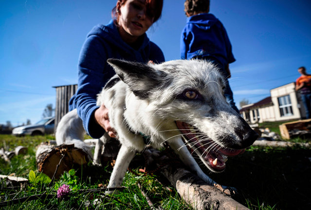Tatyana Abramova, 33, plays with her home fox Plombir at her countryside house outside Siberian city of Novosibirsk on September 12, 2020. The official start of the Soviet experiment to better understand the domestication of animals by humans began in 1959, and was initiated by geneticists Dmitri Beliaiev and Lioudmila Trout on a farm in Akademgorodok, the scientific center of excellence in Siberia. Their primary objective was to domesticate foxes, to understand how the ancestor of wolves, another canine, evolved into a loyal and loving dog. And understand what this domestication tells us about the genetic evolution of species. (Photo by Alexander Nemenov/AFP Photo)