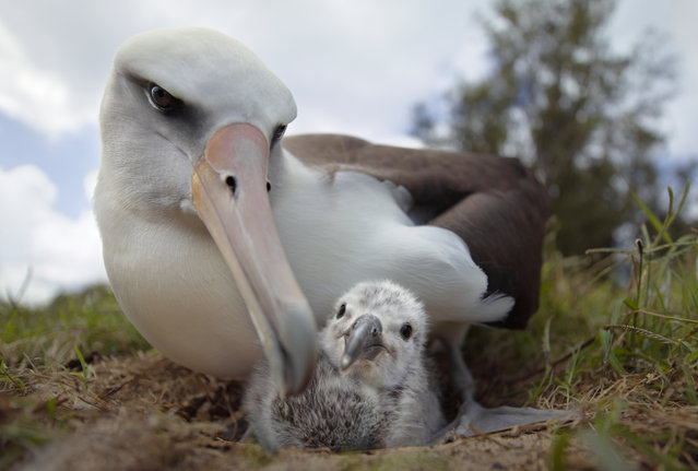 A still from Albatross, a film by Chris Jordan shot on Midway Atoll in the North Pacific Ocean that shines a light on the crisis facing the birds caused by plastic waste. (Photo by Chris Jordan/The Guardian)