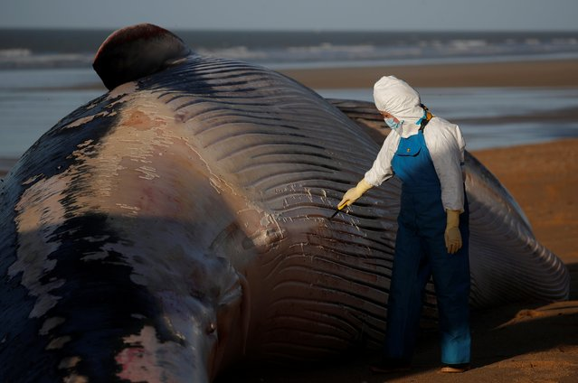 Experts at the Observatoire Pelagis examine the dead body of a fin whale which was found stranded on a beach in Saint-Hilaire-de-Riez, France, November 16, 2020. (Photo by Stephane Mahe/Reuters)