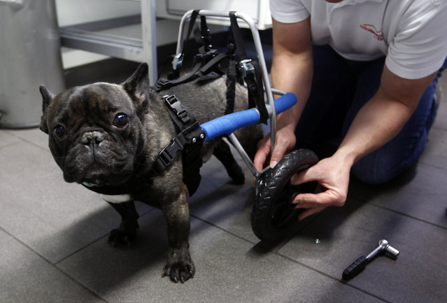 """Marco van den Boom installs a wheel of a medical roll car for French bulldog Billy at the headquarters of  'Rehatechnik fuer Tiere' (medical engineering for animals) in the western town of Witten November 9, 2012. Four-year old Billy, whose hind legs are paralyzed since birth, ran for the first time on Friday with the aid of the roll car. """"Rehatechnik fuer Tiere"""" owner Marco van den Boom, custom builds a range of roll cars for disabled or infirm dogs and animals, to help aid their mobility or paralysis needs. (Photo by Ina Fassbender/Reuters)"""