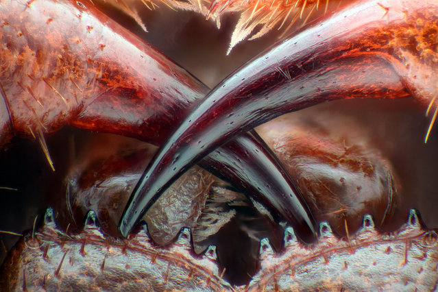 13th Place: Poison fangs of a centipede (Lithobius erythrocephalus). (Photo by Walter Piorkowski/Nikon's Small World 2016)