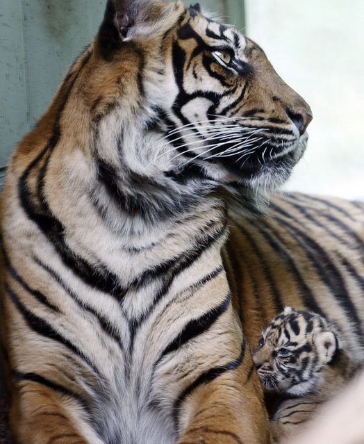 A three-weeks-old tiger baby lies next to its mother as it is presented for the first time to the public in the Zoo of Frankfurt, Germany. The tiger bay has no name yet since its gender is still unclear. (Photo by Michael Probst/AP Photo)