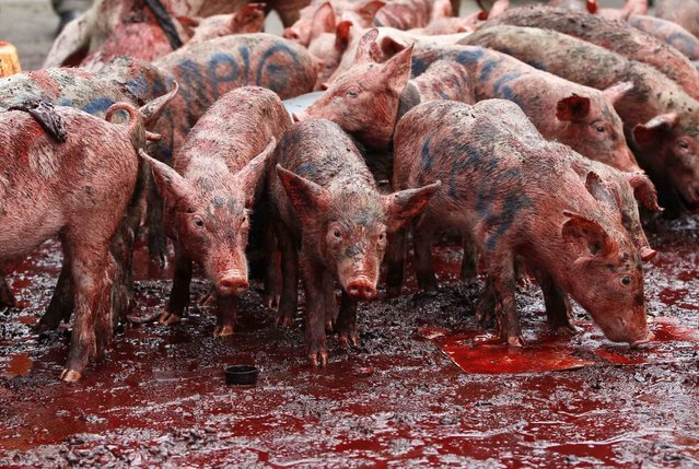 Piglets and pig's blood are seen during a demonstration against lawmakers' salary demands outside parliament buildings in the capital Nairobi, May 14, 2013. (Photo by Thomas Mukoya/Reuters)