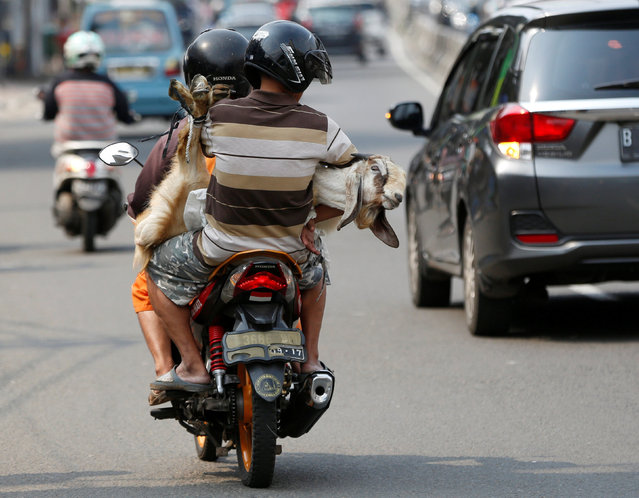 Men carry a goat on a motorcycle ahead the Muslim Eid Al-Adha holiday in Jakarta, Indonesia September 11, 2016. (Photo by Darren Whiteside/Reuters)