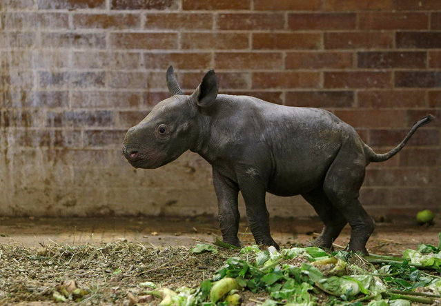 A newly born female baby Eastern Black Rhinoceros calf stands in its enclosure at Dvur Kralove Zoo, Czech Republic, October 27, 2016. (Photo by David W. Cerny/Reuters)