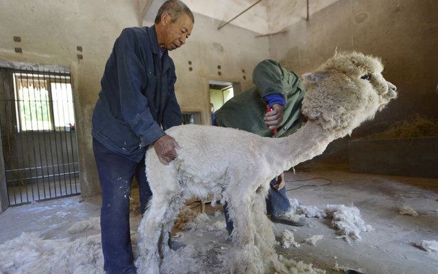 Farmers shear an alpaca in its enclosure at a Zoo in Shijiazhuang, Hebei province on May 30, 2013. (Photo by Reuters)