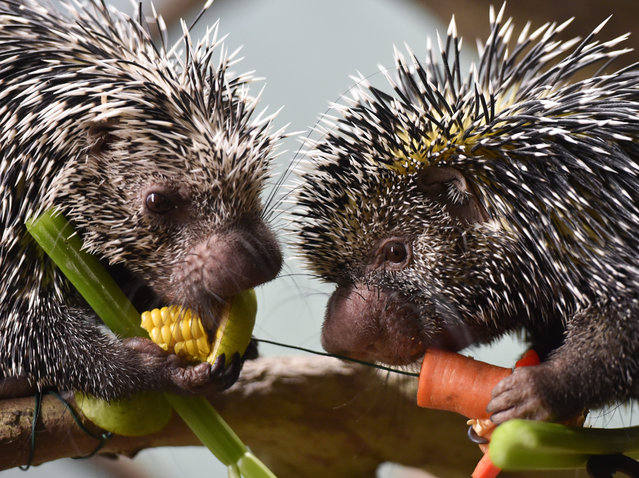 The coendou porcupine couple 'Joppi' (L) and 'Fletcher' nibble at a vegetables in their enclosure at the zoo in Frankfurt am Main, Germany, 03 December 2015. Coendou porcupines are nocturnal rodents related to porcupines and guinea pigs and native to the rain forests of Central and South America as well as Trinidad. (Photo by Arne Dedert/EPA)