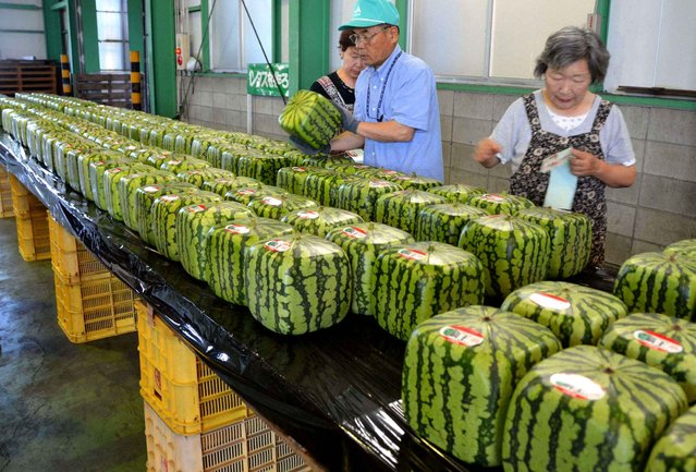 Square watermelons are sold on the market Zentsuji in Japan, on July 1, 2013. (Photo by NEWSCOM/SIPA)