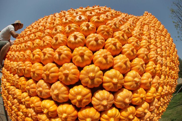 A man works on a pumpkin peanut in Seyuan of Nantong, east Chinas Jiangsu Province, September 16, 2013. (Photo by Caters News)
