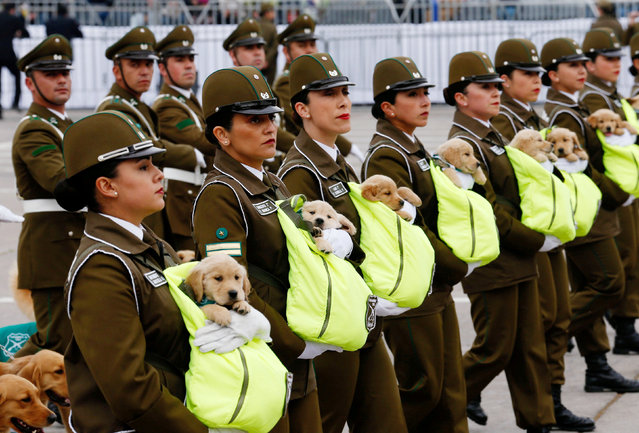 Chilean police officers march with the puppies of future police dogs during the annual military parade at the Bernardo O'Higgins park in Santiago, Chile, September 19, 2018. (Photo by Rodrigo Garrido/Reuters)