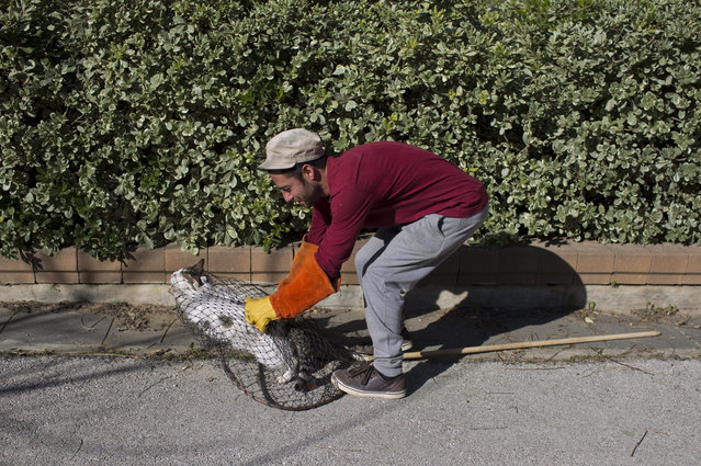 A volunteer of the SPCA (Society for Prevention of Cruelty to Animals) Jerusalem catches a female street cat in a trapping net for spay surgery at the SPCA in Jerusalem, Israel, 13 January 2016. (Photo by Abir Sultan/EPA)