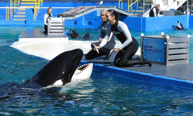 "Lolita the Killer Whale is fed a fish by a trainer during a show at the Miami Seaquarium in Miami in this file photo from January 21, 2015. Animal activists seeking to free Lolita, a killer whale living in captivity for more than four decades, asked a federal appeals court in Florida March 24, 2015 to reconsider whether U.S. officials ""rubber stamped"" an aquarium's license to keep her. (Photo by Andrew Innerarity/Reuters)"