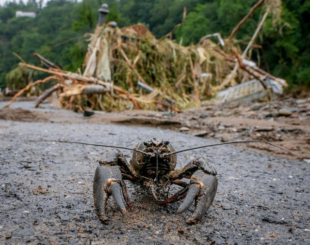 A crustacean walks on a road after flooding went back in Schuld, Germany, Friday, July 16, 2021. Two days before the Ahr river went over the banks after strong rain falls causing severals deaths and hundreds of people missing. (Photo by Michael Probst/AP Photo)