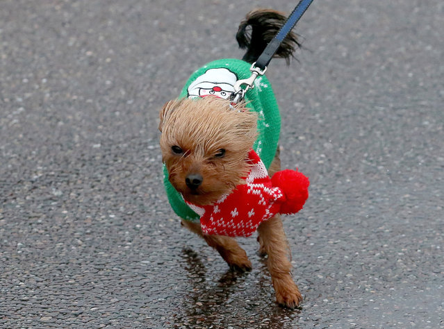 A small dog wearing a Christmas jumper is blown around on December 23, 2013 in Sidmouth, England. The Met Office has issued a number of severe weather warnings for heavy rain and high winds and is warning that it may lead to some travel disruption as people travel for Christmas. (Photo by Matt Cardy/Getty Images)