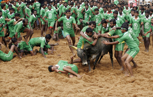 Participants tackle a bull as it charges towards another during a bull-taming sport called Jallikattu in Palamedu, about 434 kilometers (269 miles) south of Chennai, India, Wednesday, January 15, 2014. (Photo by Arun Sankar K./AP Photo)