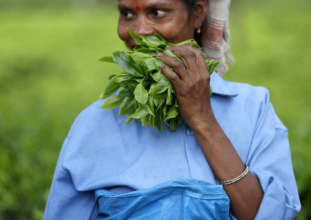 A tea garden worker holds a bunch of plucked tea leaves inside Aideobarie Tea Estate in Jorhat in Assam, India, April 21, 2015. (Photo by Ahmad Masood/Reuters)