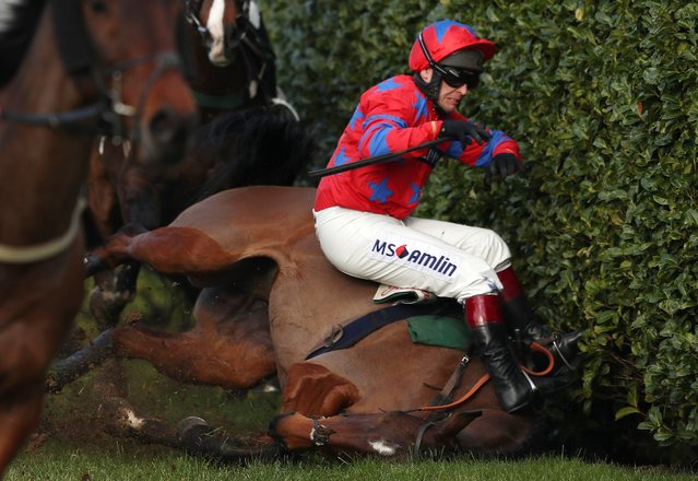 Balthazar King ridden by jockey Richard Johnson falls during the Glenfarclas Chase during Ladies Day of the 2016 Cheltenham Festival at Cheltenham Racecourse, England, Wednesday March 16, 2016. (Photo by David Davies/PA Wire via AP Photo)