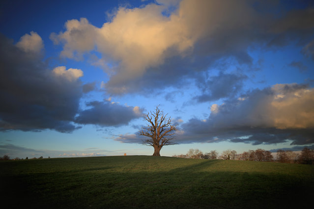 An ancient oak tree sits in a Shropshire field as the first signs of Spring begin to show across the United Kingdom on February 19, 2014 in Bridgnorth, England. (Photo by Christopher Furlong/Getty Images)