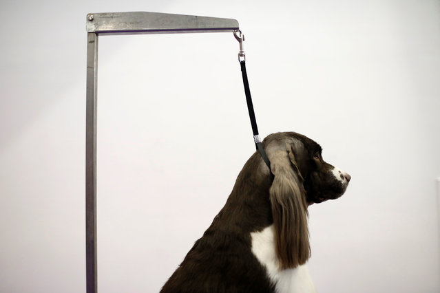 Cullen, a Springer Spaniel from Charleston, South Carolina stands on a grooming table before competition at the 141st Westminster Kennel Club Dog Show in New York City, U.S., February 13, 2017. (Photo by Mike Segar/Reuters)
