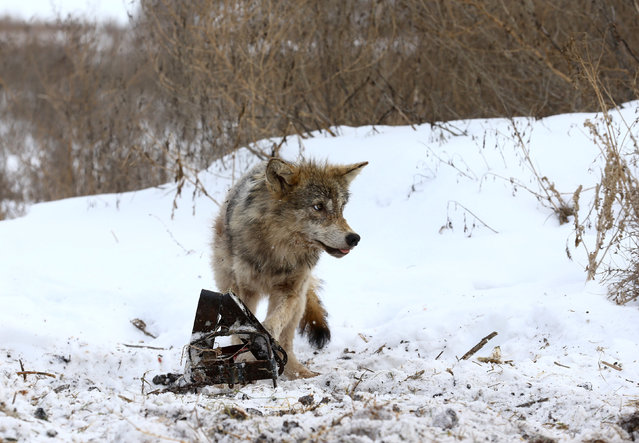 A wolf is caught in a trap near the village of Khrapkovo, Belarus February 1, 2017. (Photo by Vasily Fedosenko/Reuters)