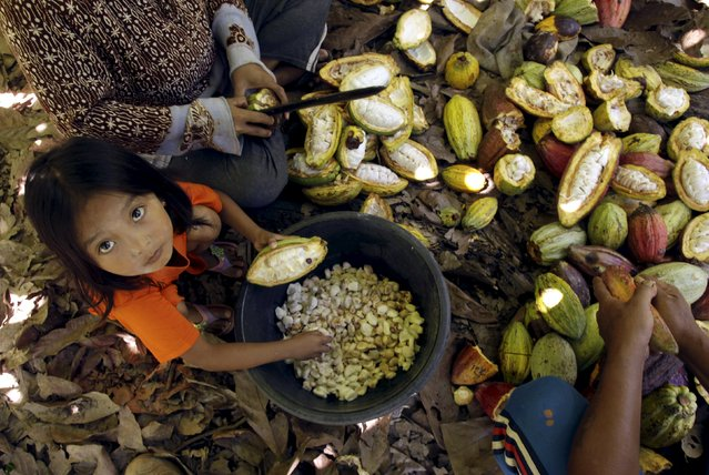 A child helps her parents harvest cocoa fruit at a plantation in Gantarang Keke Village, South Sulawesi, Indonesia May 8, 2015. (Photo by Yusuf Ahmad/Reuters)