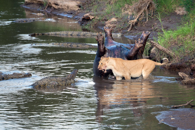 Lion fights crocs over hippo. (Photo by Richard Chew/Caters News)