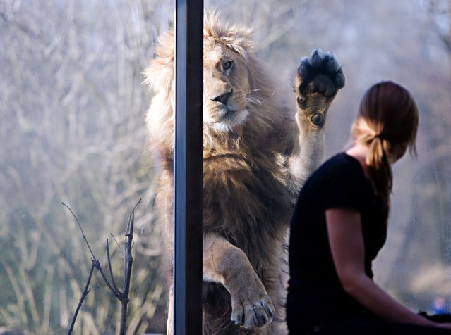 A zoo-keeper looks at lion Max as he scratches a window at the zoo Hellabrunn in Munich, southern Germany, on March 17, 2014. (Photo by Nicolas Armer/AFP Photo/DPA)