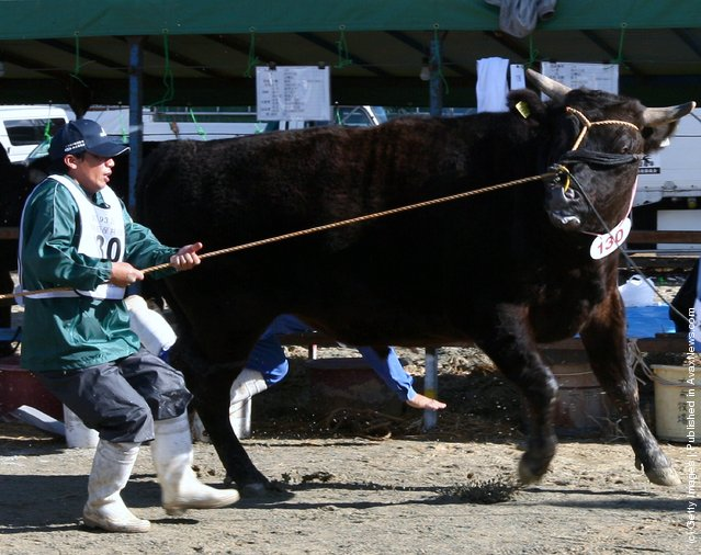 Auction Takes Place To Decide The Most Expensive Beef In Hyogo