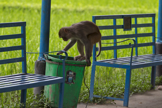 In this July 10, 2019, photo, a monkey scavenges for food in a garbage bin about a kilometer away from Pashupatinath Temple in Kathmandu, Nepal. Lately the monkeys from Pashupatinath have been wandering further away from the temple and forest area in search of food because the forests have become thin and bears less fruit. The temple is revered by Hindus and draws pilgrims come from all over the world. The monkeys are a key feature of the temple area. (Photo by Niranjan Shrestha/AP Photo)