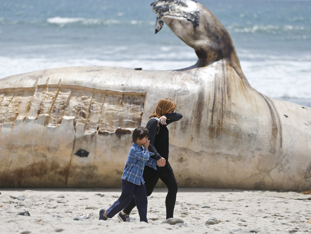 A woman and a young boy cover part of their noses as the walk past a massive carcass of a whale at a popular California surfing spot Tuesday, April 26, 2016, in San Clemente, Calif. Authorities are trying to decide what to do with the massive, rotting carcass. (Photo by Lenny Ignelzi/AP Photo)
