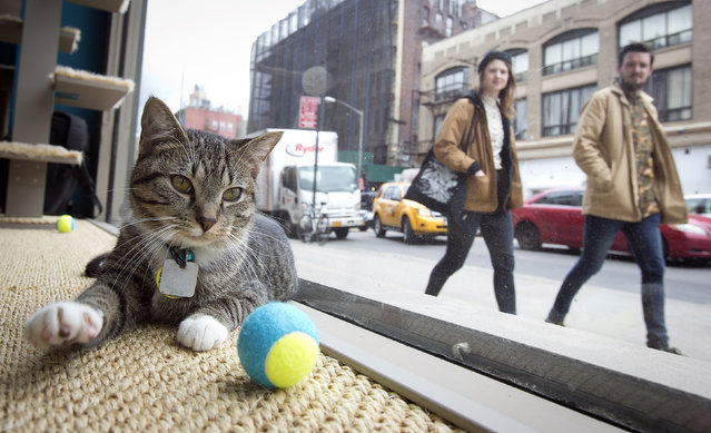 A cat is pictured sitting at the window of the cat cafe in New York April 23, 2014. The cat cafe is a pop-up promotional cafe that features cats and beverages in the Bowery section of Manhattan. (Photo by Carlo Allegri/Reuters)