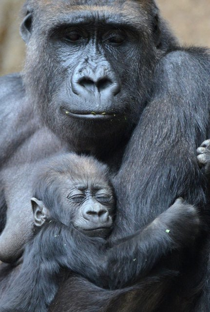 A picture made available on 09 May 2014 shows five-month old baby gorilla Jengo cuddling with his mother Kibara at the zoo in Leipzig, Germany, 08 May 2014. Gorilla boy Jengo becomes more independent from day to day and already explores his enclosure by himself. He will soon get a playmate because another gorilla girl was born in the zoo in March. (Photo by Hendrik Schmidt/EPA)