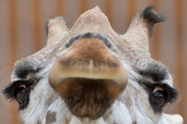 """Giraffe """"Maud"""" looks on in the zoo in Kronsberg am Taunus, central Germany, on May 28, 2014. (Photo by Boris Roessler/AFP Photo/DPA)"""
