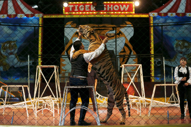 A trainer plays with a tiger during a performance for tourists at the Sriracha Tiger Zoo, in Chonburi province, Thailand, June 7, 2016. (Photo by Chaiwat Subprasom/Reuters)