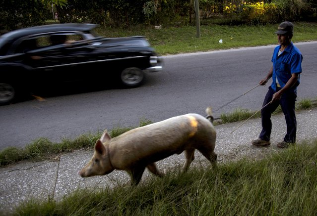 Osmar Ramirez walks his pig Bartolo by a leash to a client's home for mating in La Lisa neighborhood on the outskirts of Havana, Cuba, Wednesday, January 28, 2015. Ramirez owns two male pigs, Bartolo and Bartolo's father Pancho, and charges 100 Cuba pesos (CUPs), or about $4 U.S. dollars, for mating. (Photo by Ramon Espinosa/AP Photo)