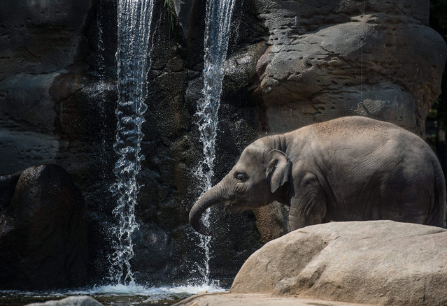 Sita, an Indian Elephant cools off in its enclosure at the zoo in Prague, Czech republic, 12 August 2015. World Elephant Day is marked on 12 August, to raise awareness of threats to Asian and African elephants. (Photo by Filip Singer/EPA)