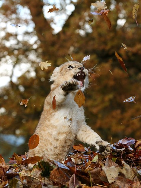 Lion Playing In Autumn Leaves