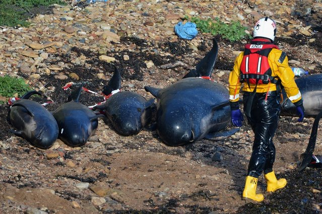 Emergency service personnel walk near beached whales as they continue in their rescue attempt to save a large number of pilot whales who have beached on September 1, 2012 in Pittenweem, Scotland. A number of whales have died after being stranded on the east coast of Scotland between Anstruther and Pittenweem.  (Photo by Jeff J. Mitchell)